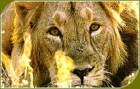 Lion, Gir National Park