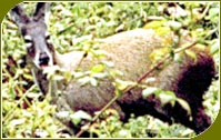 Musk Deer, Dachigam Wildlife Sanctuary