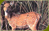 Spotted Deer, Calimere Wildlife Sanctuary